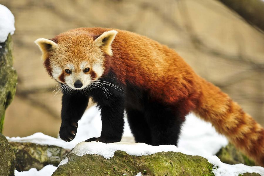 A red panda walking around in the snow