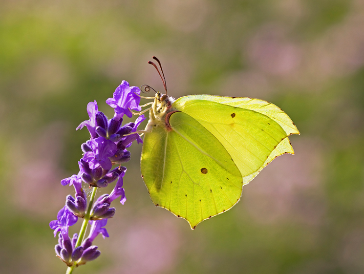 Image of butterfly, Credit: Matt Berry, Butterfly Conservation Trust